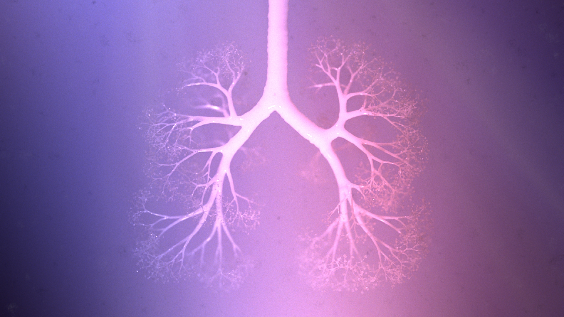 lung_v004_render_pinkFog2-1